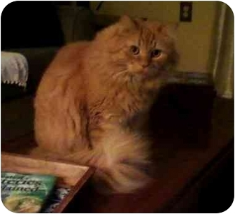 Maine Coon Cat for adoption in Howell, New Jersey - Ms.Garfiled