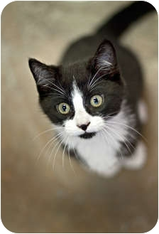 Domestic Shorthair Kitten for adoption in Carencro, Louisiana - Sumo