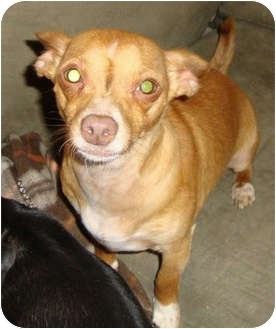 Chihuahua/Dachshund Mix Dog for adoption in Leesport, Pennsylvania - PAL