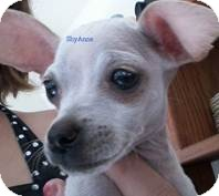 Chihuahua Mix Dog for adoption in San Diego, California - Baby