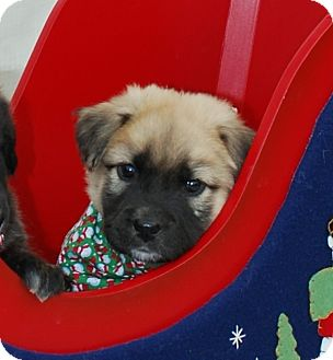 Shepherd (Unknown Type) Mix Puppy for adoption in White Settlement, Texas - JJ-passed from complications