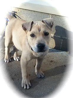 Labrador Retriever Mix Puppy for adoption in Newtown, Connecticut - Stumpy
