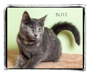 Domestic Shorthair Kitten for adoption in Warren, Pennsylvania - Blitz