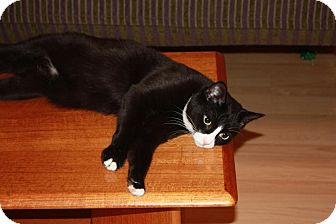 Domestic Shorthair Cat for adoption in Little Falls, New Jersey - Simon (LE)