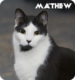 Domestic Shorthair Cat for adoption in River Edge, New Jersey - Mathew