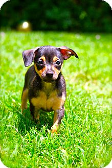 Chihuahua Mix Puppy for adoption in Houston, Texas - Guinness