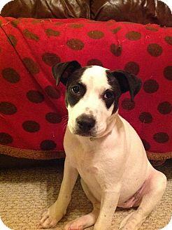 Rat Terrier/American Bulldog Mix Puppy for adoption in Jesup, Georgia - Sassy