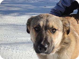 Shepherd (Unknown Type)/Anatolian Shepherd Mix Dog for adoption in Craig, Colorado - Buddy