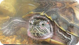 Turtle - Water for adoption in Benbrook, Texas - Mike and Leo