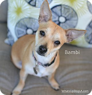 Chihuahua Mix Dog for adoption in Los Angeles, California - Bambi