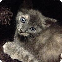 Adopt A Pet :: Olivia - Chandler, AZ
