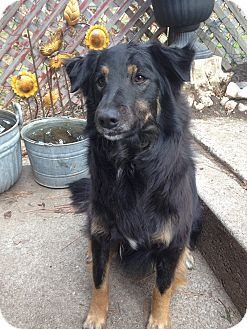 Border Collie/Australian Shepherd Mix Dog for adoption in San Pedro, California - CLEMENTINE (Courtesy List)