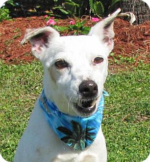 Jack Russell Terrier Dog for adoption in Port St. Joe, Florida - Ted