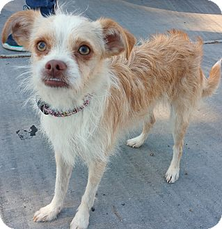 Jack Russell Terrier/Brussels Griffon Mix Puppy for adoption in Phoenix, Arizona - Sophie