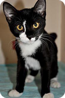 Domestic Shorthair Kitten for adoption in Danbury, Connecticut - Midnight 2