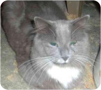 Domestic Longhair Kitten for adoption in Bedford, Massachusetts - Nico
