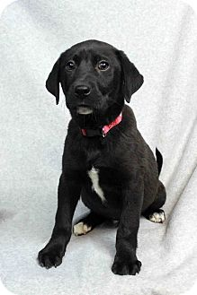 Labrador Retriever Mix Puppy for adoption in Westminster, Colorado - Derrick