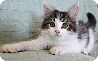 Domestic Mediumhair Kitten for adoption in Jefferson, North Carolina - Mac