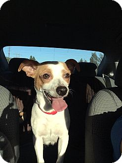 Jack Russell Terrier/Chihuahua Mix Dog for adoption in Encino, California - Bree