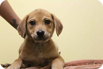 Labrador Retriever Mix Puppy for adoption in Waldorf, Maryland - Mercury