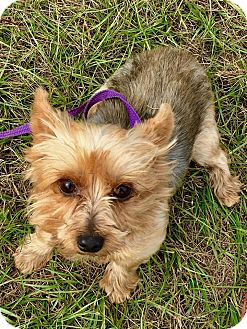 Yorkie, Yorkshire Terrier Dog for adoption in Mary Esther, Florida - Strawberry-see note