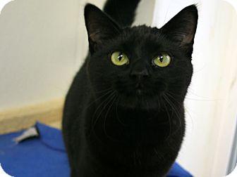 Domestic Shorthair Kitten for adoption in Republic, Washington - Bubba VALENTINE'S SPECIAL! 50%