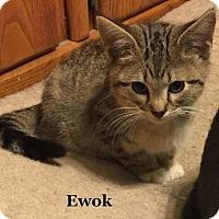 Adopt A Pet :: Ewok - Bentonville, AR