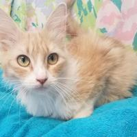 Domestic Mediumhair/Domestic Shorthair Mix Cat for adoption in Brownwood, Texas - Heidi(kittens born 6/21)