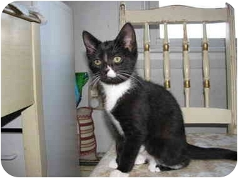 Domestic Shorthair Kitten for adoption in Quincy, Massachusetts - Shadow