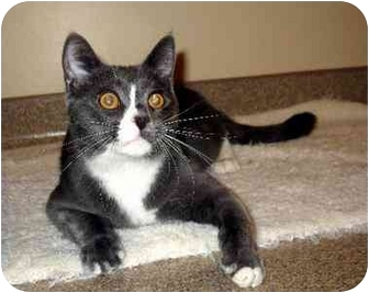 Domestic Shorthair Cat for adoption in Fremont, Michigan - Pilot