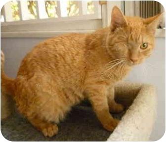 Domestic Shorthair Kitten for adoption in San Diego, California - Popeye