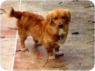 Dachshund/Spaniel (Unknown Type) Mix Dog for adoption in Westampton, New Jersey - Heidi
