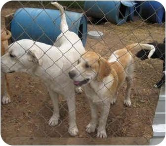 Labrador Retriever/Beagle Mix Dog for adoption in Tahlequah, Oklahoma - Jeremy
