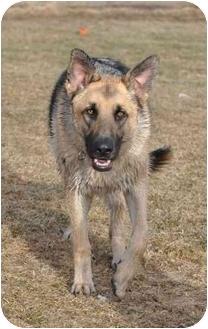 German Shepherd Dog Dog for adoption in Hamilton, Montana - Dre