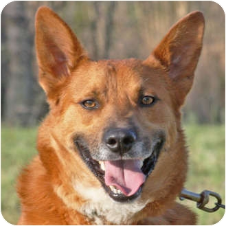 Belgian Tervuren Mix Dog for adoption in Marion, Arkansas - Bob-RESCUE PENDING