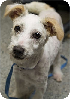 Jack Russell Terrier Mix Puppy for adoption in Santa Barbara, California - Skippy