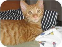 Domestic Shorthair Kitten for adoption in Tampa, Florida - Rowan