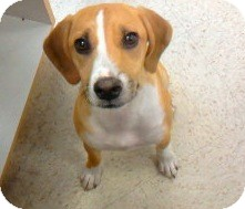 Beagle Mix Puppy for adoption in Tahlequah, Oklahoma - Levi