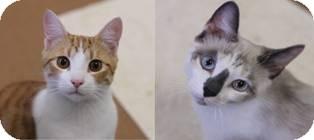 Siamese Cat for adoption in Norwalk, Connecticut - Peeta & Katniss