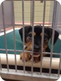 Rottweiler Mix Puppy for adoption in Columbus, Georgia - Dee Dee 751B
