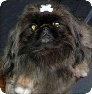Pekingese Dog for adoption in Mays Landing, New Jersey - Anastasia
