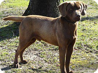 Labrador Retriever Dog for adoption in Humboldt, Tennessee - M&M
