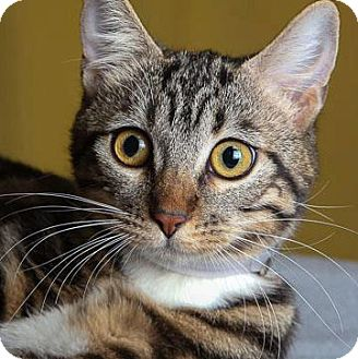 Domestic Shorthair Cat for adoption in Irvine, California - Norah