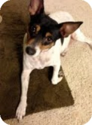 Rat Terrier Mix Dog for adoption in justin, Texas - Bobo