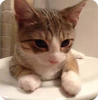 Domestic Shorthair Kitten for adoption in Merrifield, Virginia - Rihannon
