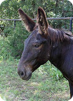 Donkey/Mule/Burro/Hinny Mix for adoption in Wichita, Kansas - Meshack
