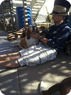 Basset Hound Dog for adoption in Acton, California - Ros-Cow