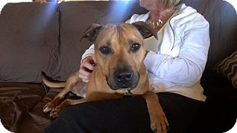 American Pit Bull Terrier Mix Dog for adoption in Plainfield, Illinois - Ollie