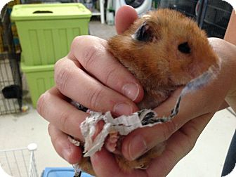 Hamster for adoption in Port Orange, Florida - Hammy