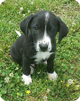 Labrador Retriever Mix Puppy for adoption in Manchester, New Hampshire - Theodore